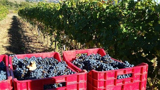Casse di uva rossa per la vendemmia ai Poderi Bandera